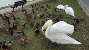 The famous Stratford Swans on the Avon River. i8tonite: A Cheat Sheet to Eating in Stratford, Ontario