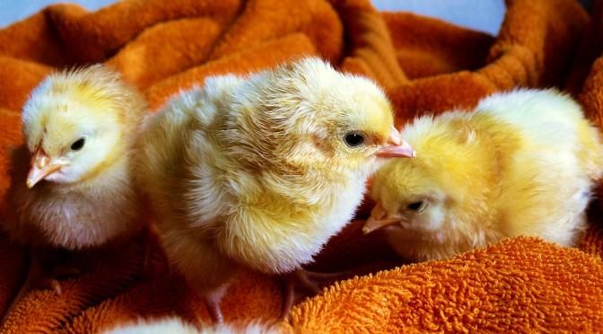 Our Pastured Chicks Kill Fascists